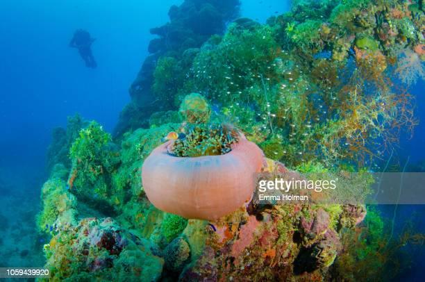 coral growing on the kensho maru wreck - lagon chuuk photos et images de collection