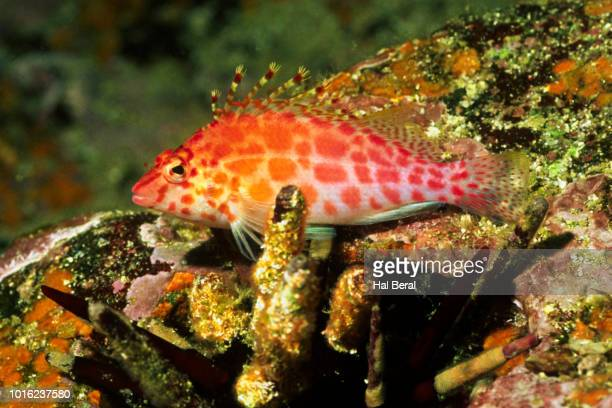 coral hawkfish - hawkfish stock pictures, royalty-free photos & images