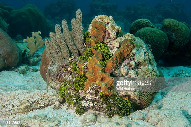 Coral head showing gorgonian watercress alga symmetrical brain coral and branching tube sponge Curacao Netherlands Antilles