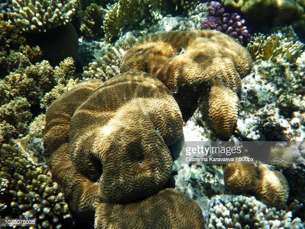 coral in red sea - brain coral foto e immagini stock