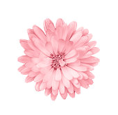 Coral or pink daisy, chamomile isolated on white background.