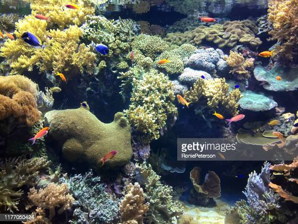 coral - cnidarian stock pictures, royalty-free photos & images