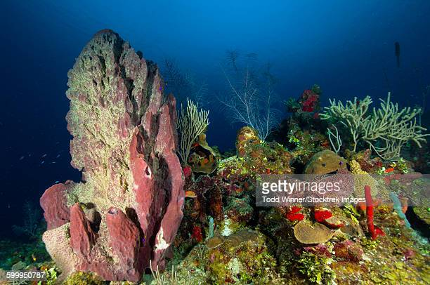 Coral reef and sponges, Belize.