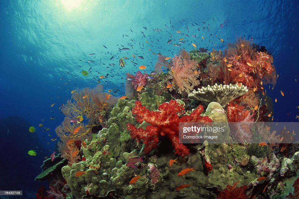 Coral reef and tropical fish : Stockfoto