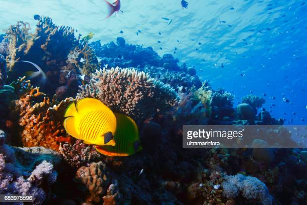 Coral reef  Butterflyfish Sea life red corals   Underwater  Scuba diver point of view  Red sea Nature & Wildlife