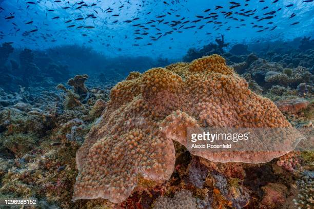Coral reef covered with corals of the genus Turbinaria in good health on November 23 Mayotte, Comoros archipelago, Indian Ocean. The coral reefs of...