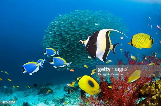 coral reef fish - poissons exotiques photos et images de collection