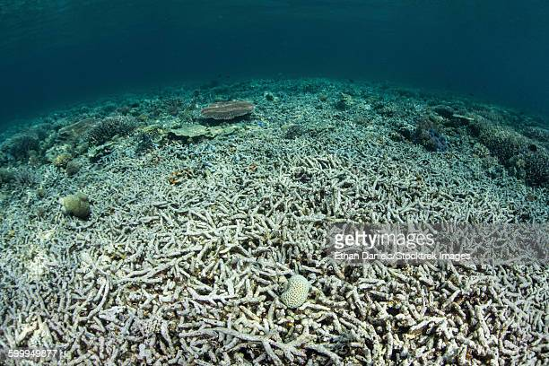 a coral reef has been destroyed in indonesia. - dead plant stock pictures, royalty-free photos & images