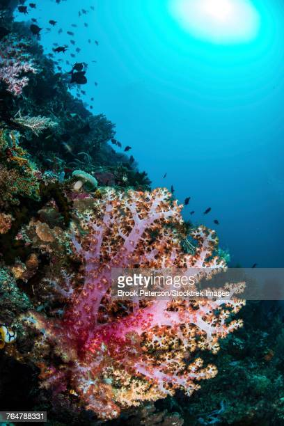 A coral reef in Indonesia hosts fish and soft corals.