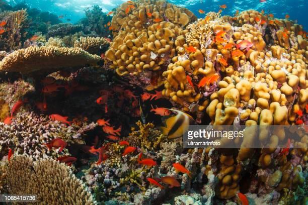 recifes de corais da vida selvagem e natureza subaquática mar vida mergulhador perspectiva fotografia subaquática - vida no mar - fotografias e filmes do acervo