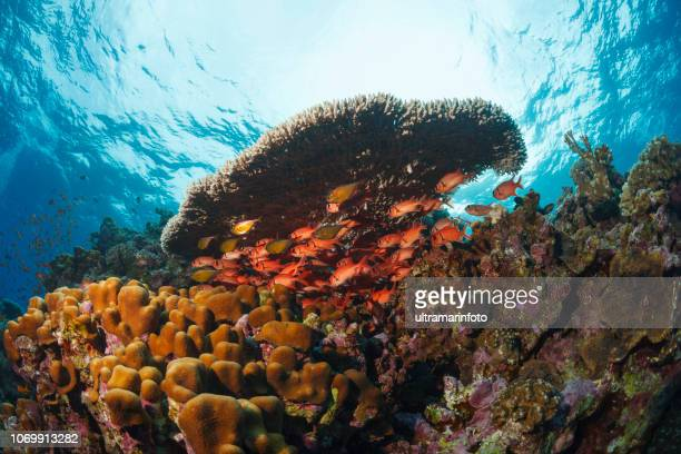 coral reef  nature & wildlife underwater sea life scuba diver point of view  underwater photo - sea life stock pictures, royalty-free photos & images