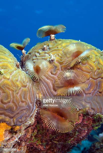 Coral reef scene of splitcrown feather duster worms on brain coral Anamobaea orstedii Diploria labyrinthiformis Something Special Bonaire Netherlands...