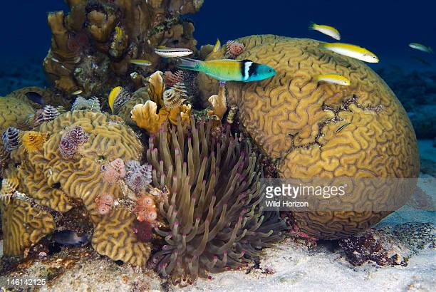 Coral reef scene showing diversified community of organisms Colpophyllia nantans Caracasbaai Curacao Netherlands Antilles