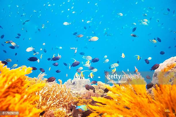 coral reef scene with fish in indonesia - indo pacific ocean stock pictures, royalty-free photos & images