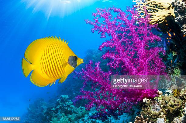 coral reef scenery - hot pink stock photos and pictures