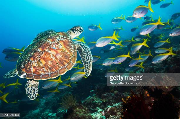 Coral reef scenery with a Green sea turtle and fusiliers