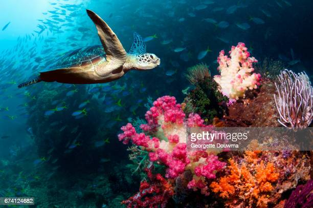 Coral reef scenery with a Green sea turtle