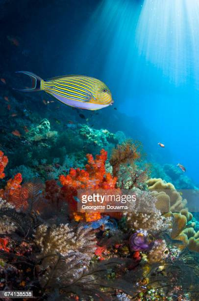 Coral reef scenery with a  surgeonfish