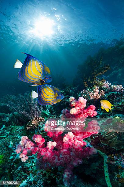 Coral reef scenery with Angelfish