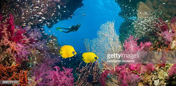 Coral reef scenery with butterflyfish and a diver