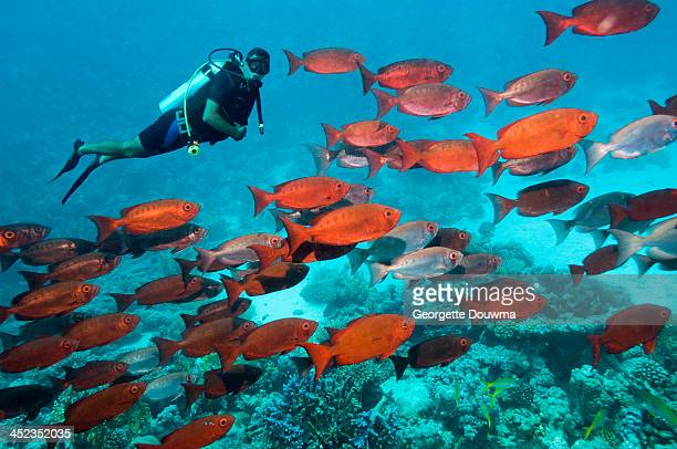 coral reef scenery with diver - 紅海 ストックフォトと画像
