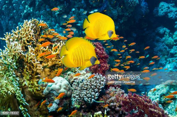 Coral reef scenery with Golden butterflyfish and Goldies.