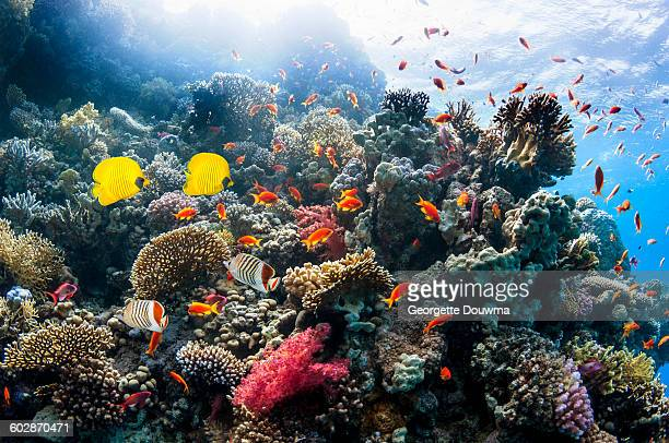 Coral reef scenery with golden butterflyfish