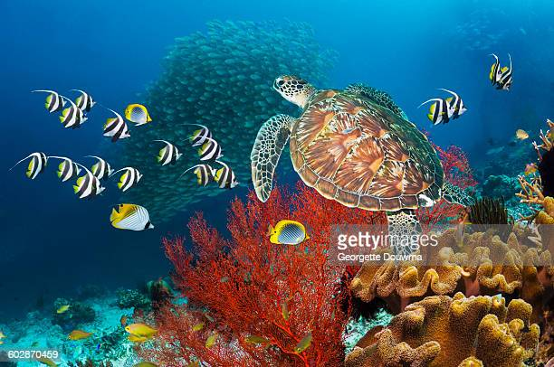Coral reef scenery with green turtle