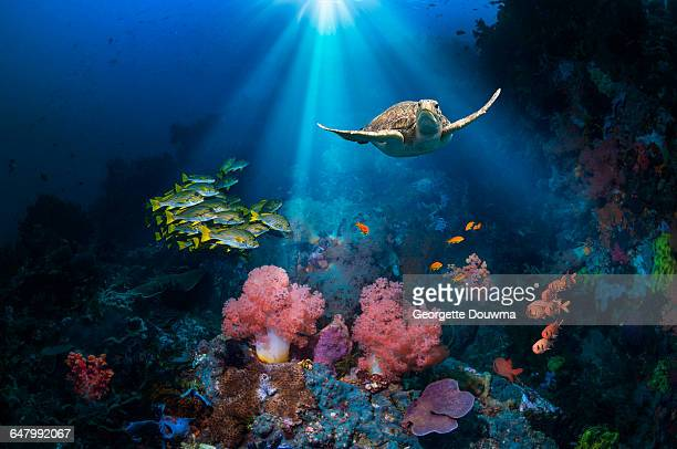 Coral reef scenery with Green turtle.
