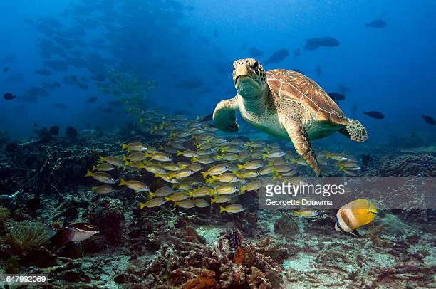 coral reef scenery with green turtle. - green turtle stock pictures, royalty-free photos & images