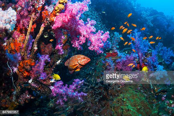 Coral reef scenery with grouper