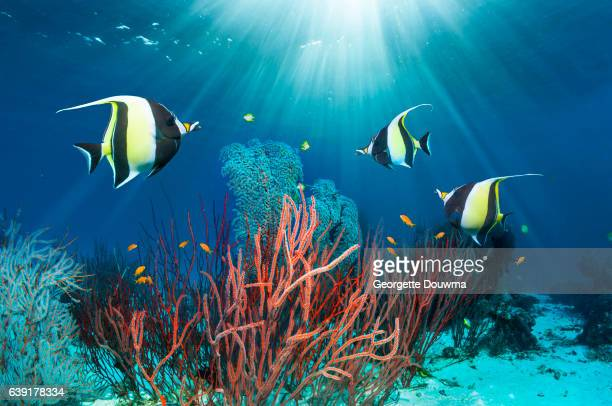 Coral reef scenery with Moorish idols.