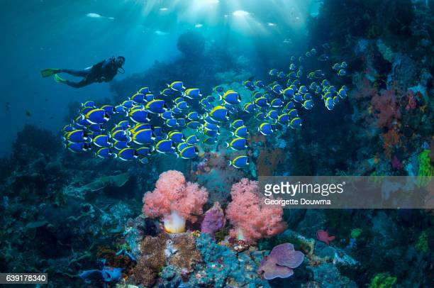 Coral reef scenery with Powderblue surgeonfish and a diver in the background.