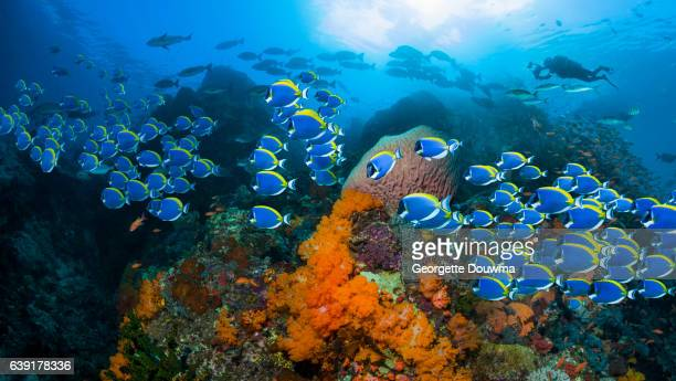 Coral reef scenery with Powderblue surgeonfish.