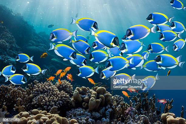 Coral reef scenery with surgeonfish