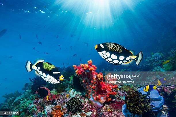 Coral reef scenery with triggerfish