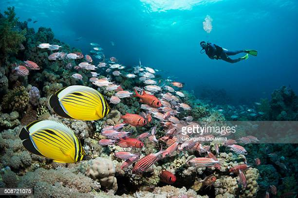 coral reef scenery with tropical fish and diver - squirrel fish photos et images de collection
