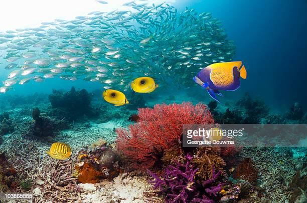 coral reef scenery with tropical fish - indo pacific ocean stock pictures, royalty-free photos & images