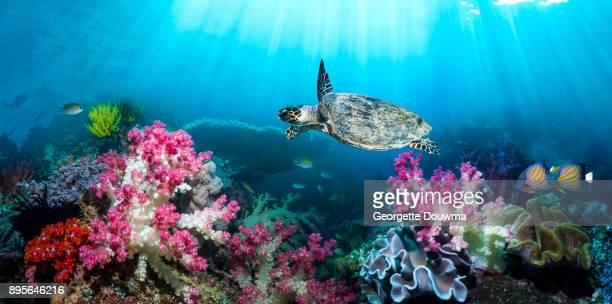 Coral reef sceneryn with a Hawksbill sea turtle