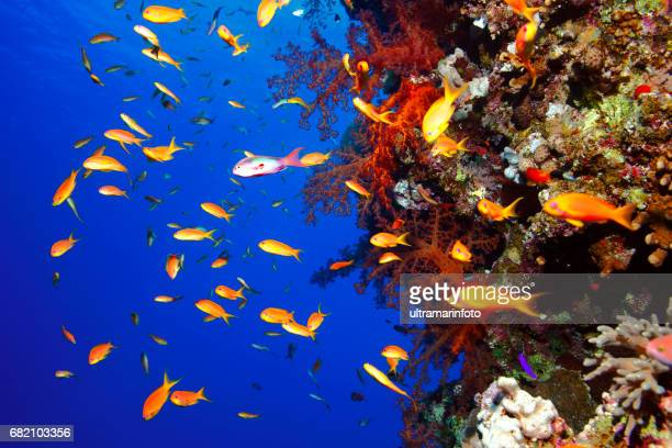 Coral reef  Sea life red corals   Underwater  Scuba diver point of view  Red sea