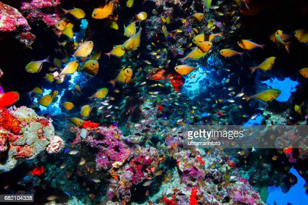 Coral reef  Sea life School of fish and corals Glassfish Cave sweeper  Underwater cave  Scuba diver point of view  Red sea