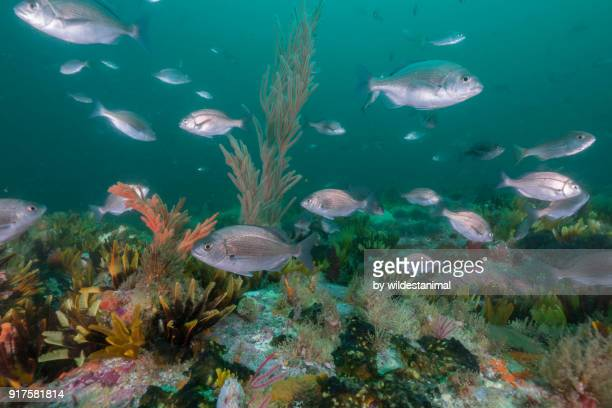 Coral reef seascape, False Bay, Cape Town, South Africa.