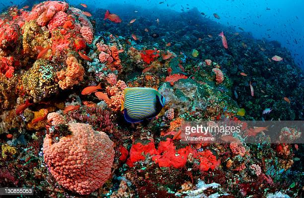 Coral reef with Angelfish (Pomacanthus imperator), Komodo, Indian Ocean, Indonesia