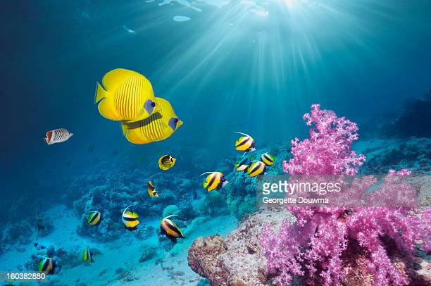 coral reef with butterflyfish - mariner lebensraum stock-fotos und bilder