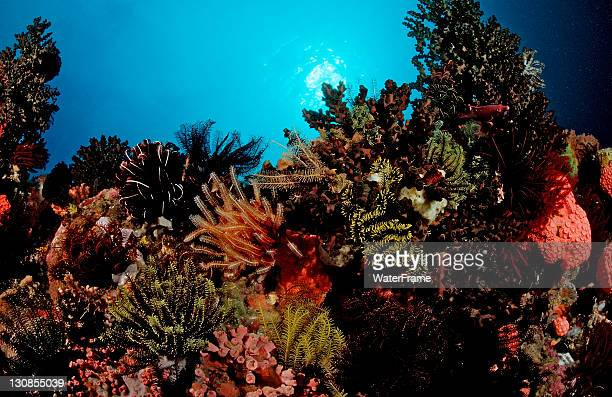 coral reef with colorful feather stars (crinoidea), komodo, flores, indonesia, southeast asia - crinoidea stock pictures, royalty-free photos & images