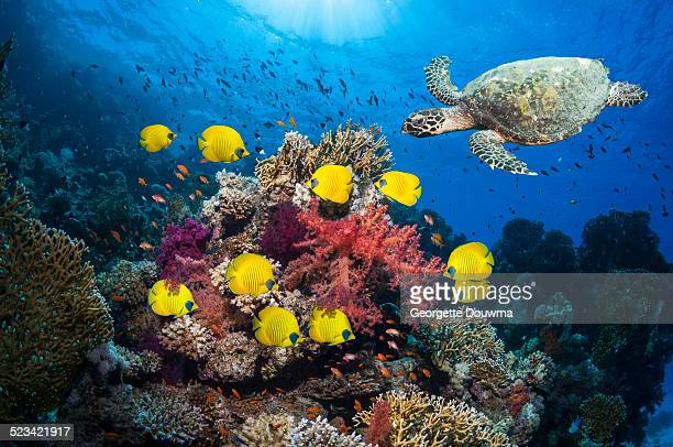 coral reef with fish and turtle - hawksbill turtle stock pictures, royalty-free photos & images