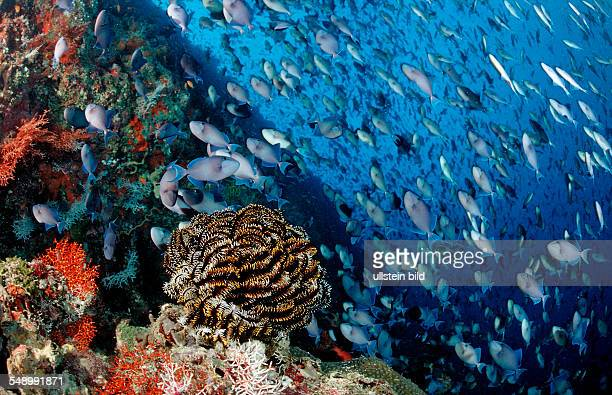 Coral Reef with giant Shoal of Redtooth Triggerfishes, Odonus niger, Maldives, Indian Ocean, Meemu Atoll