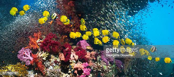 Coral reef with golden butterflyfish