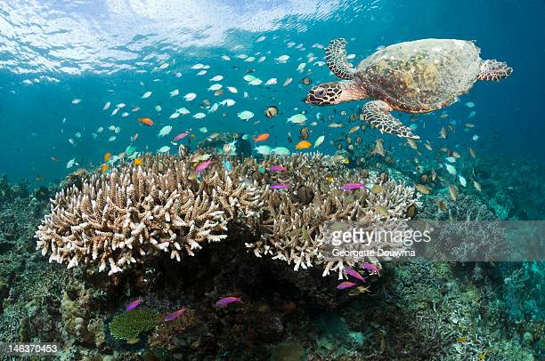 Coral reef with Hawksbill turtle