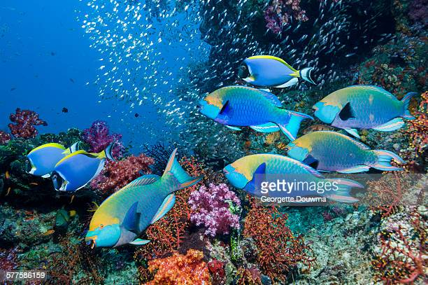 Coral reef with parrotfish